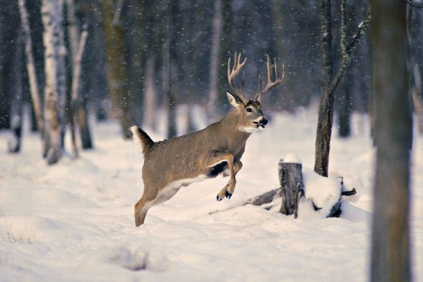 free-whitetail-deer-wallpaper