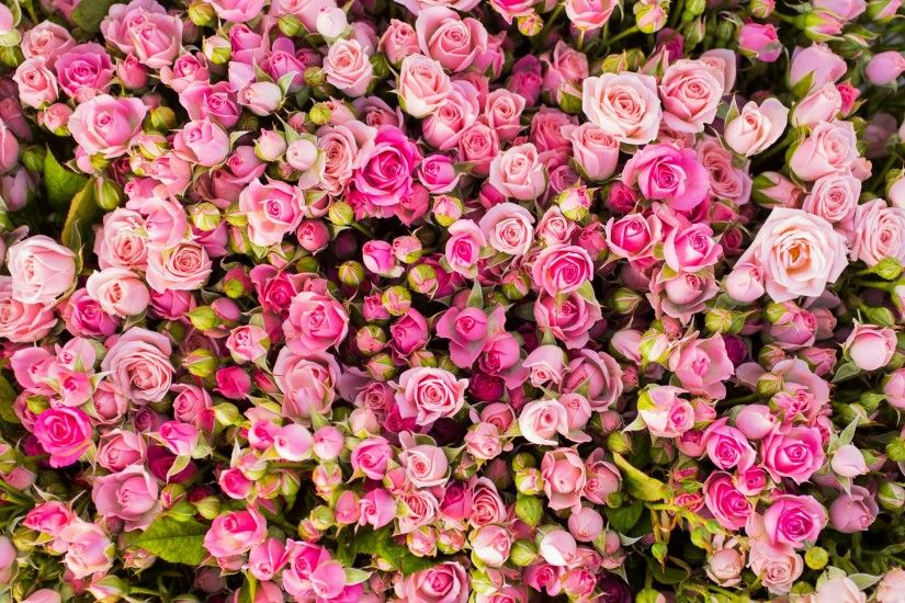 Flowers / Pink roses Wallpaper