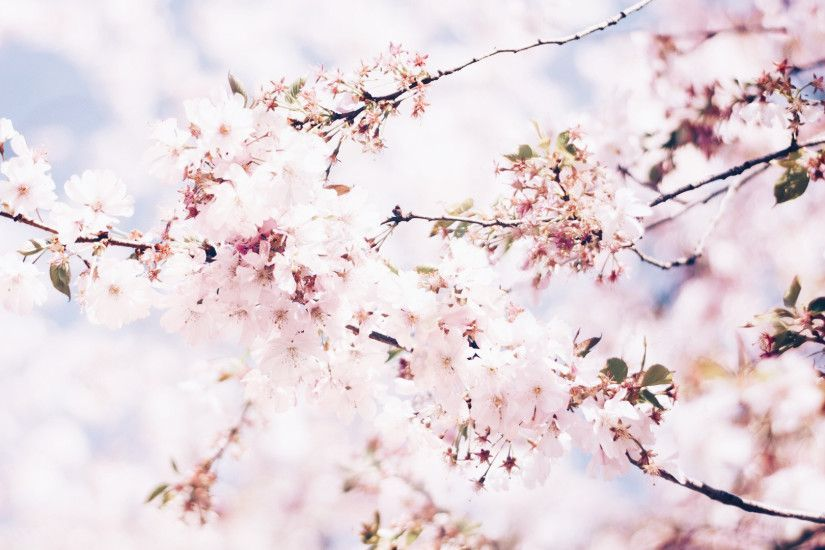 flower wallpaper cherry blossom wallpapermobile flower wallpaper cherry  blossom wallpaperdesktop