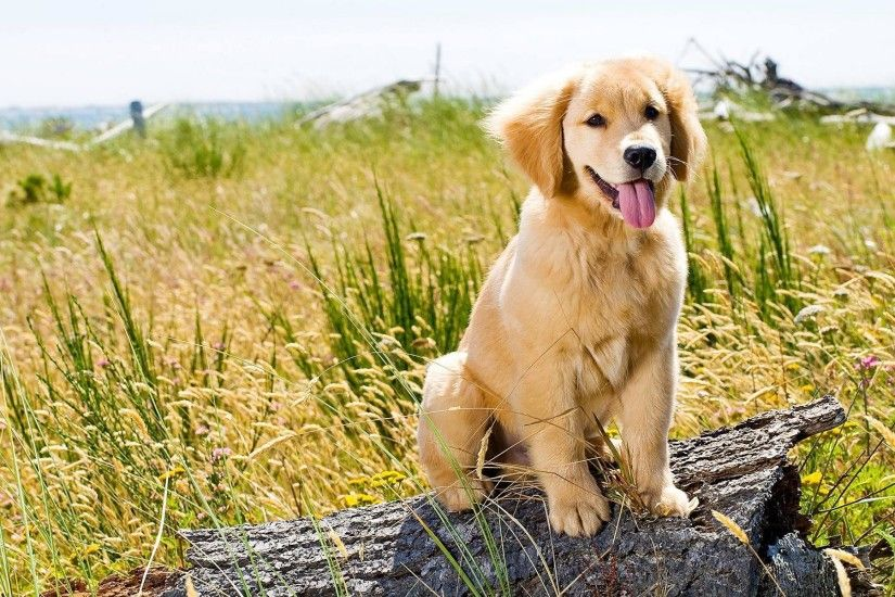 Top 10 Cutest Golden Retriever Puppies