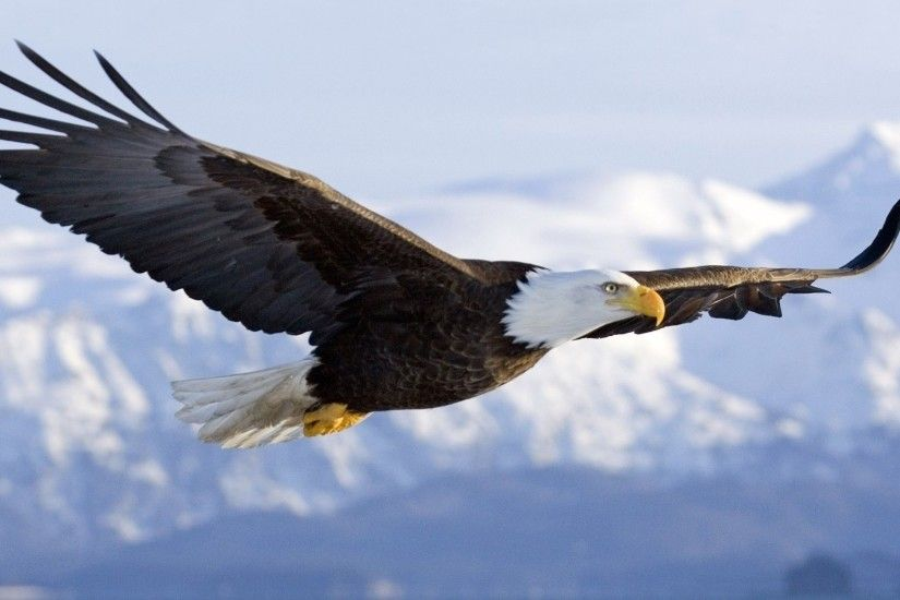 Bald Eagle Wallpapers 2880x1800 px - Full HD Pictures