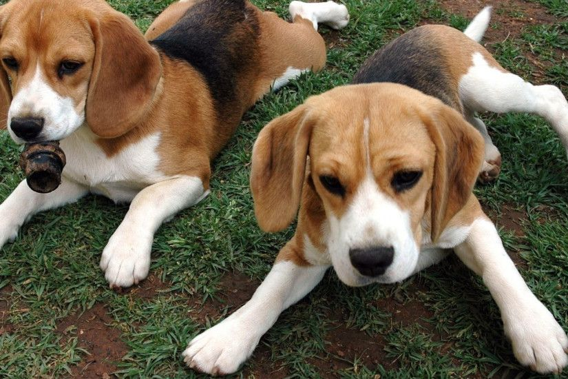 1920x1080 Wallpaper beagle, puppies, dog, couple