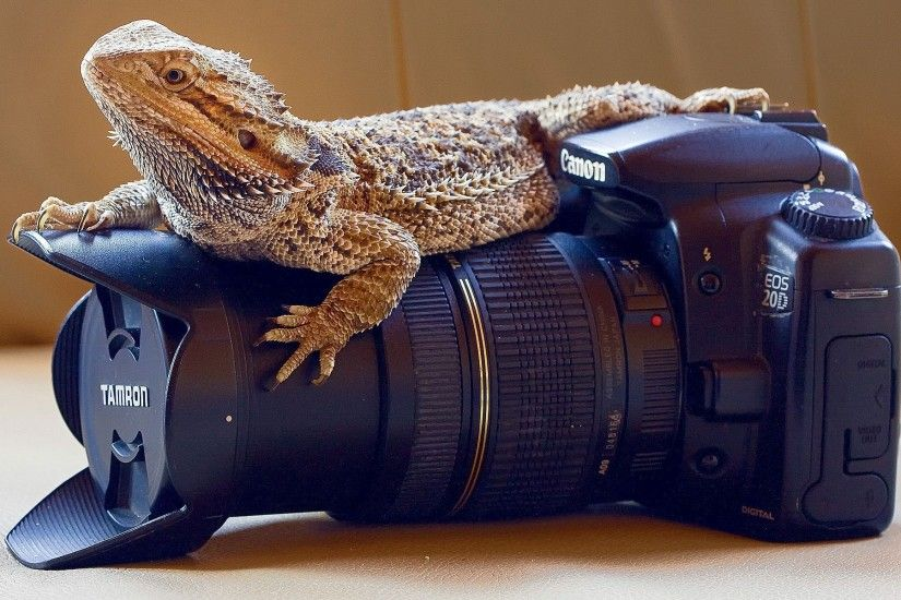 Bearded Dragon Wallpaper 73