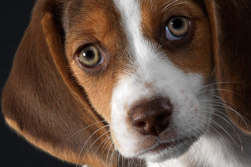 Get the latest dog, beagle, puppy news, pictures and videos and learn all  about dog, beagle, puppy from wallpapers4u.org, your wallpaper news source.
