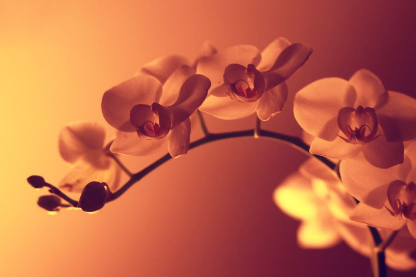 Orchid Wallpaper 24552