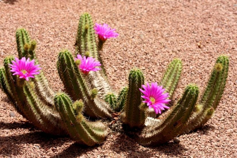 Cactus Flowers Wallpaper Background 59184