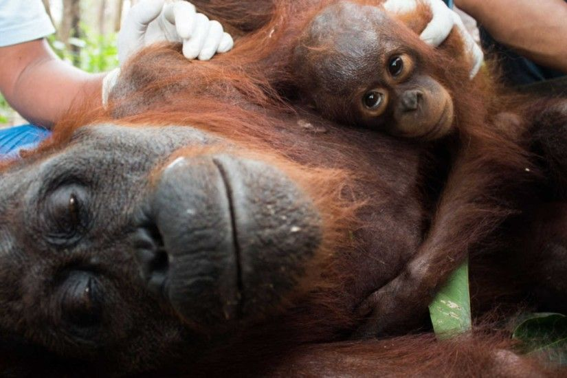 Baby Orangutan Clings To Starving Mum