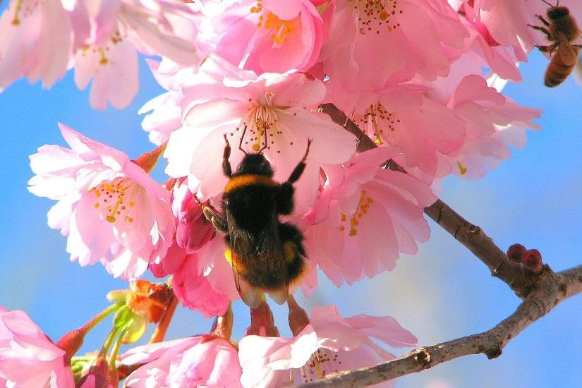 Bees in the Cherry Tree Wallpaper Spring Nature Wallpapers