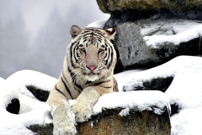 White Tiger in Winter Wallpapers HD Pictures
