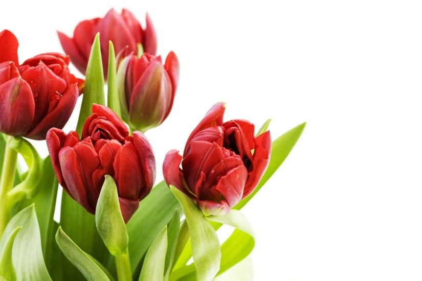 Tulip flowers Wallpapers - HD Wallpapers 80028
