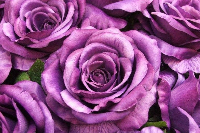 Big purple roses