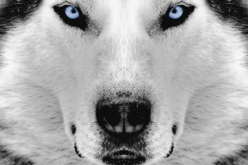 White Siberian Husky Wallpaper, Awesome White Siberian Husky