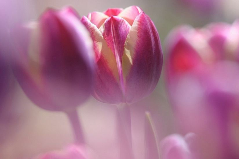 FLOWERS MACRO BUTTERFLY NATURE HQ WALLPAPER | Excellent Macro Tulip  Wallpapers for Smart Phone and Desktop