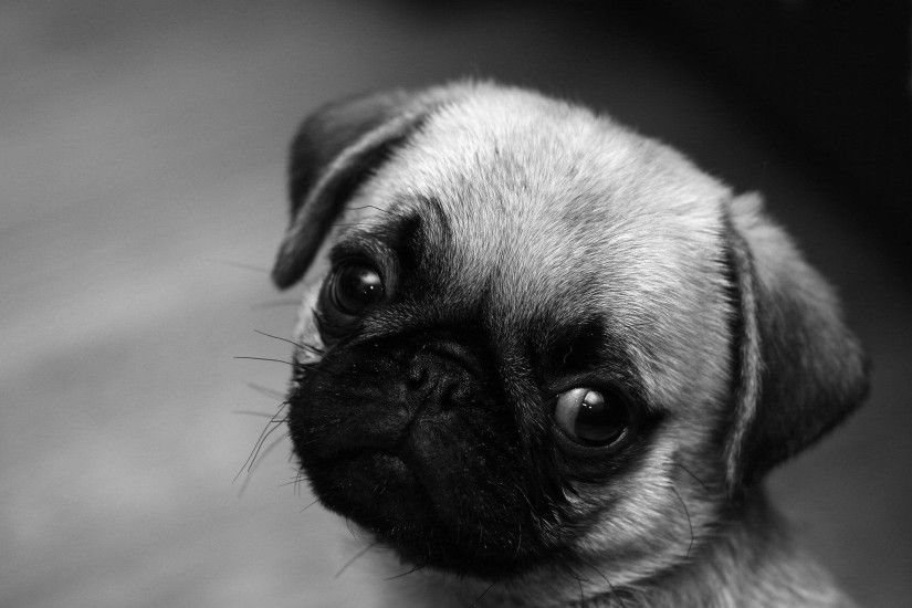 Images For > Cute Baby Pug Wallpaper