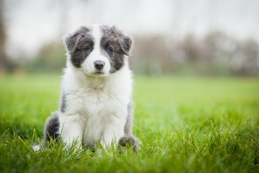 Preview wallpaper border collie, puppy, sit, grass 1920x1080