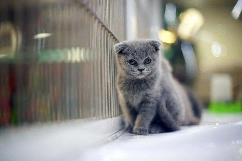 1920x1200 Grumpy Gray Kitten