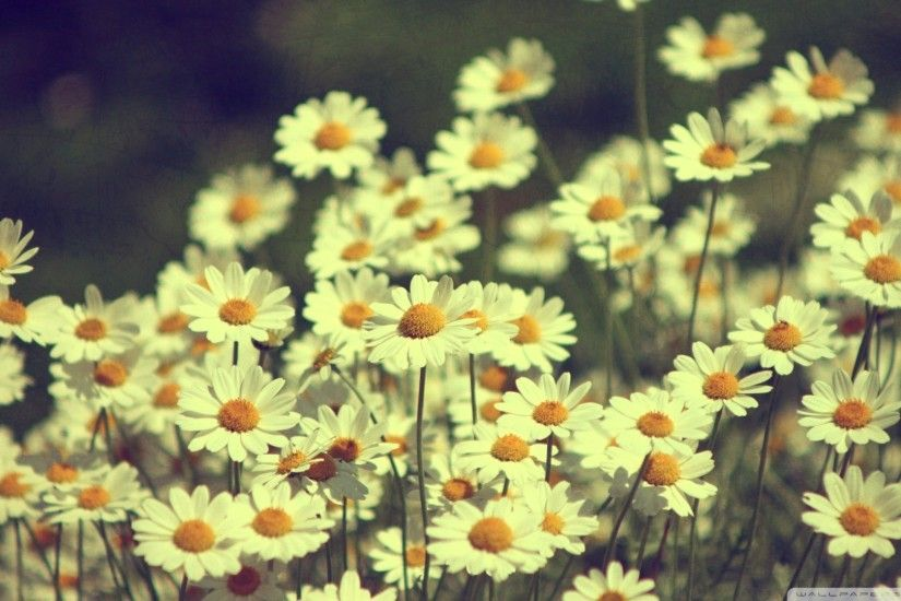 Daisy Wallpaper 38 Desktop Background