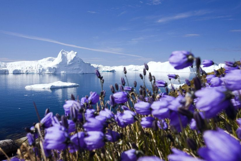 Purple Arctic flowers and icebergs from Jakobshavn Glacier, Greenland