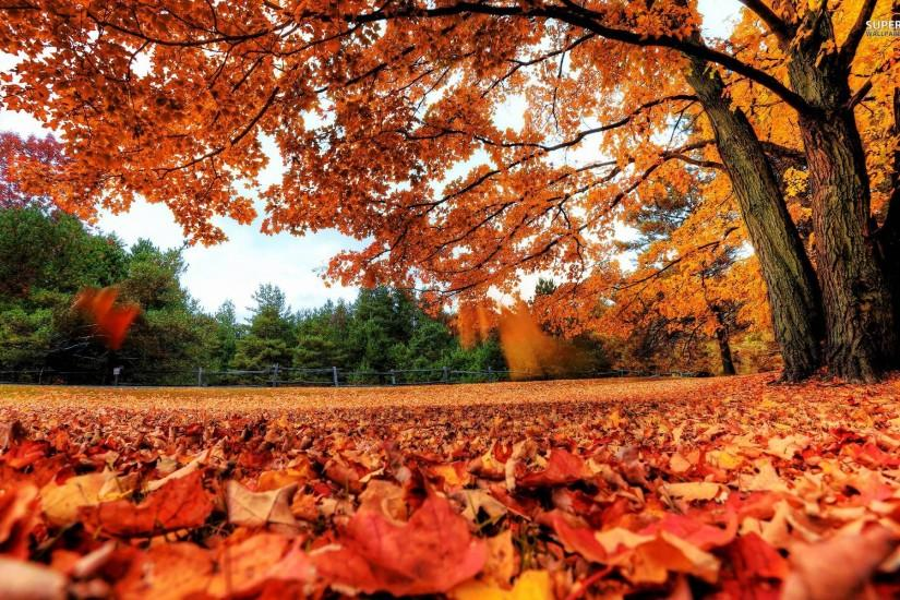 Red autumn leaves wallpaper - Nature wallpapers - #