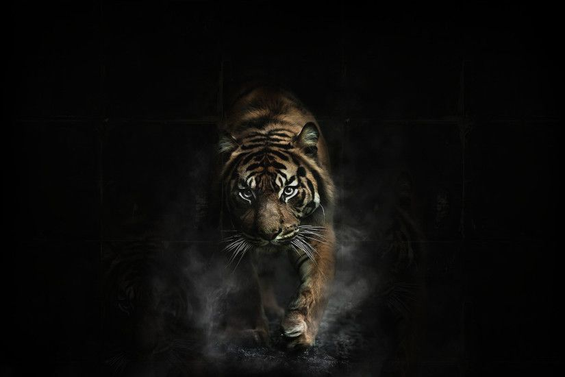 Tiger In Black Background hd wallpaper