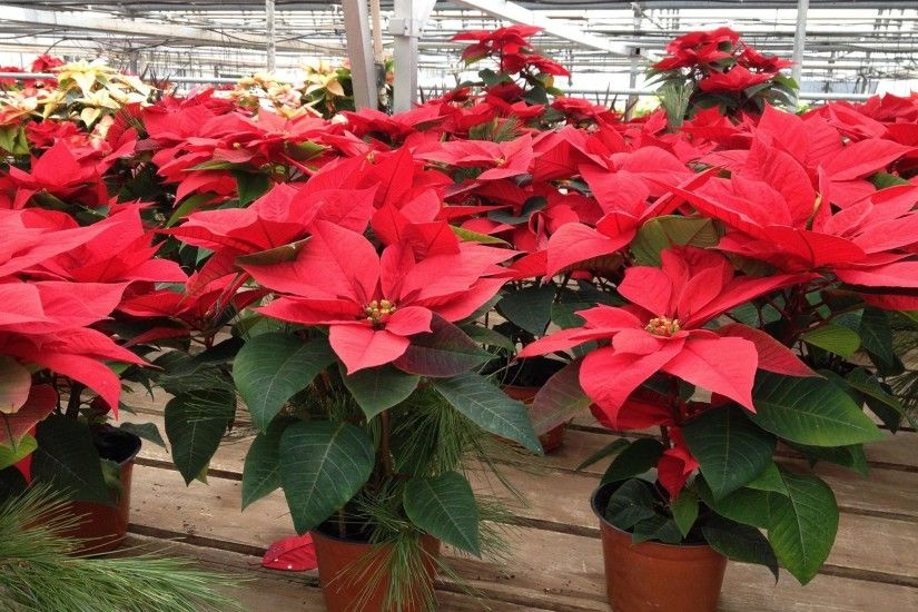 How to Re-Bloom Your Poinsettia