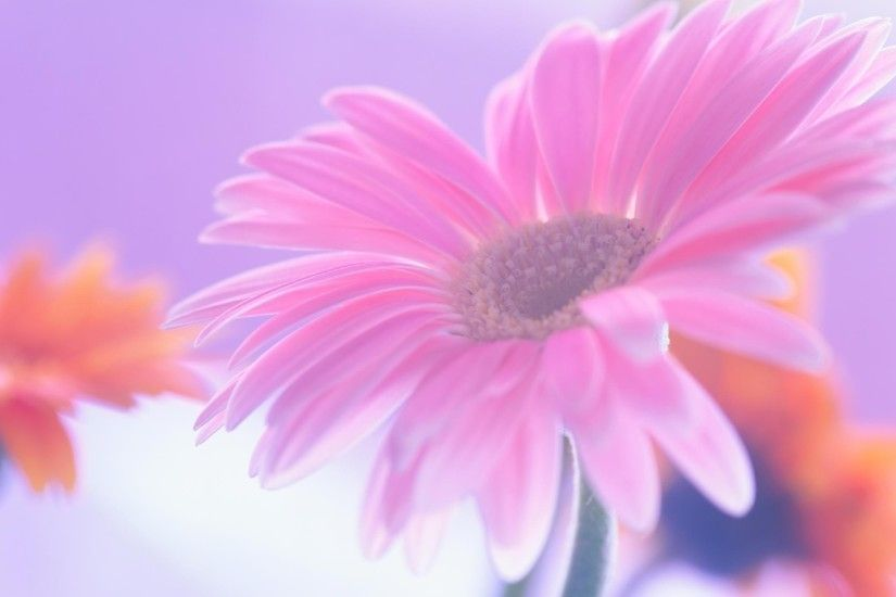 Pink Daisy Wallpaper