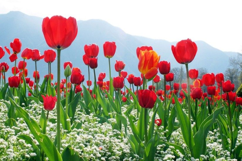 Free wallpaper of Tulip Flowers.