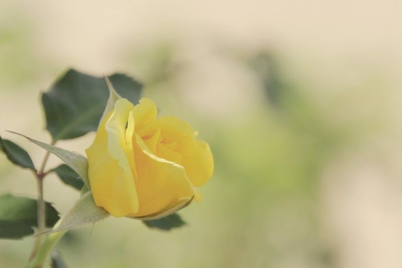 Yellow Rose Wallpaper Background 10351