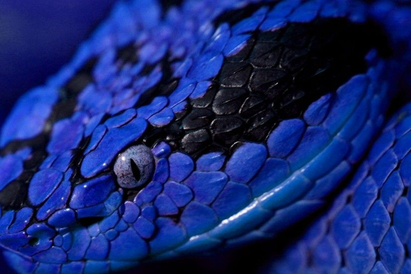 Wallpaper Download 2560x1600 - Photo Wallpaper - Animal blue snake