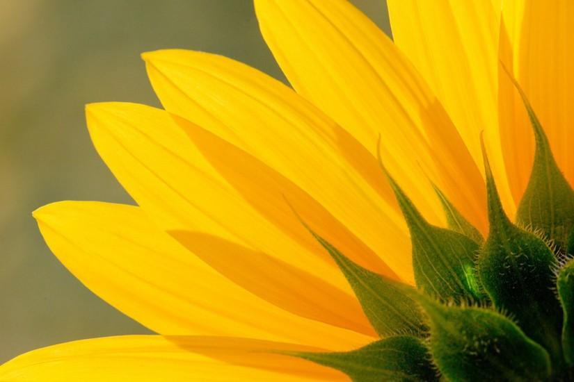 free download sunflower background 1920x1200 for retina