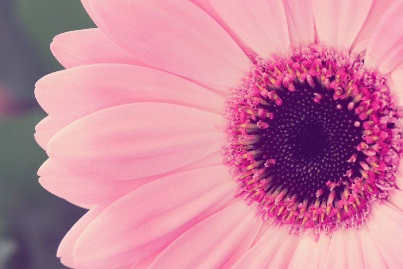 Pink Daisy Wallpapers Wallpaper 1920×1080 Daisy Pictures Wallpapers (37  Wallpapers) | Adorable