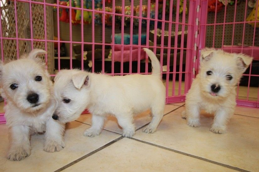 West Highland White Terrier, Westie, Puppies, Dogs, For Sale, In Atlanta,  Georgia, GA, Savannah - YouTube