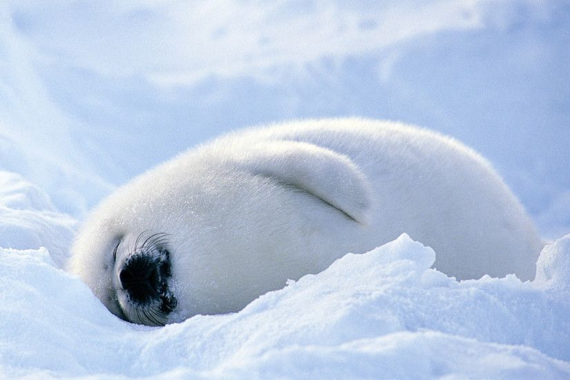 Sleeping Seal Wallpapers