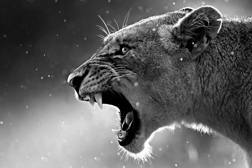 wallpaper.wiki-Lioness-in-black-and-white-wallpaper-