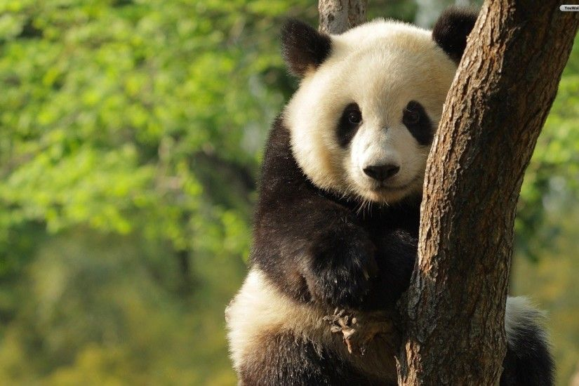 undefined Panda Wallpaper (40 Wallpapers) | Adorable Wallpapers