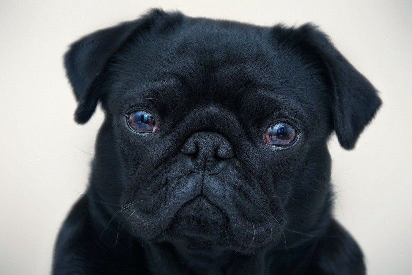 ... Full HD 1080p Pug Wallpapers HD, Desktop Backgrounds 1920x1080 .