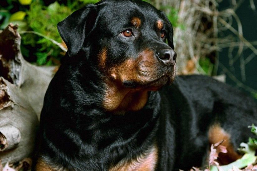 HD Wallpaper | Background ID:277107. 1920x1200 Animal Rottweiler