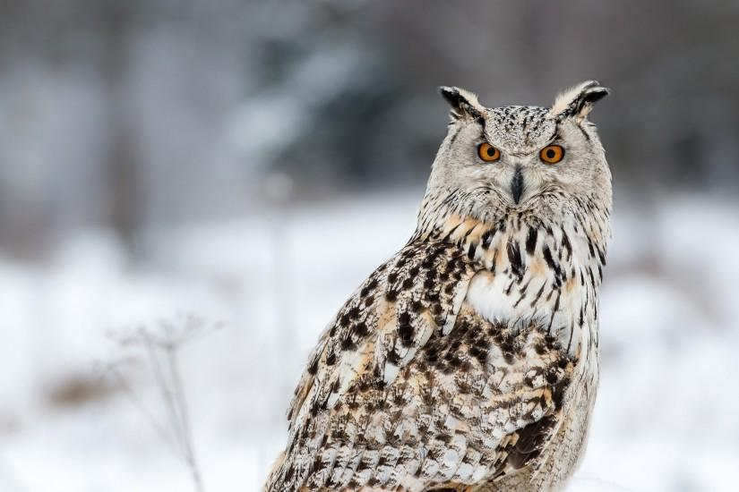 download free owl wallpaper 2048x1281