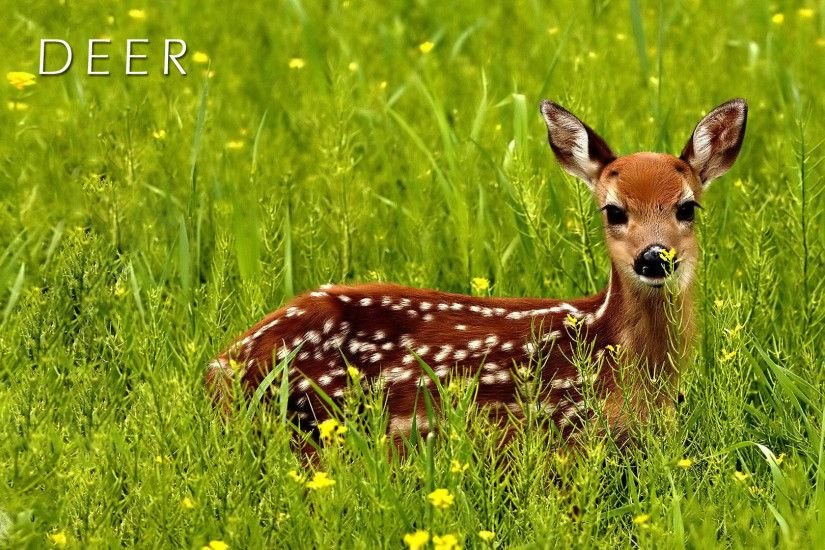 Best Deer Wallpapers and Backgrounds
