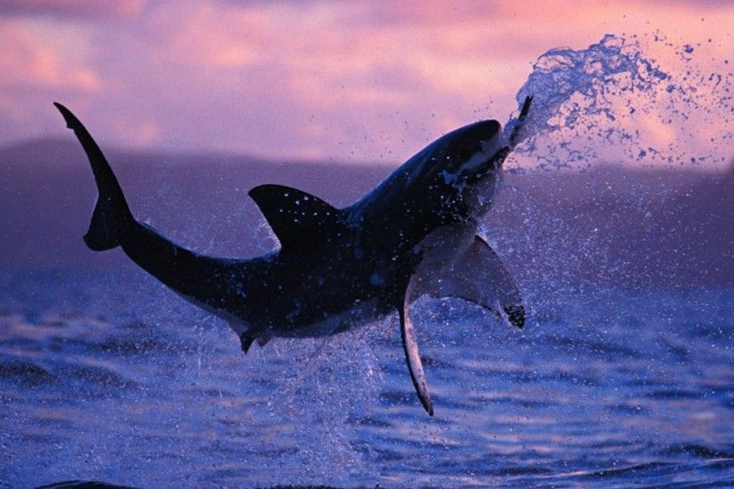 Shark-Wallpaper-1.jpeg (1920×1200) | Sharks | Pinterest | Shark, Shark pics  and Animal