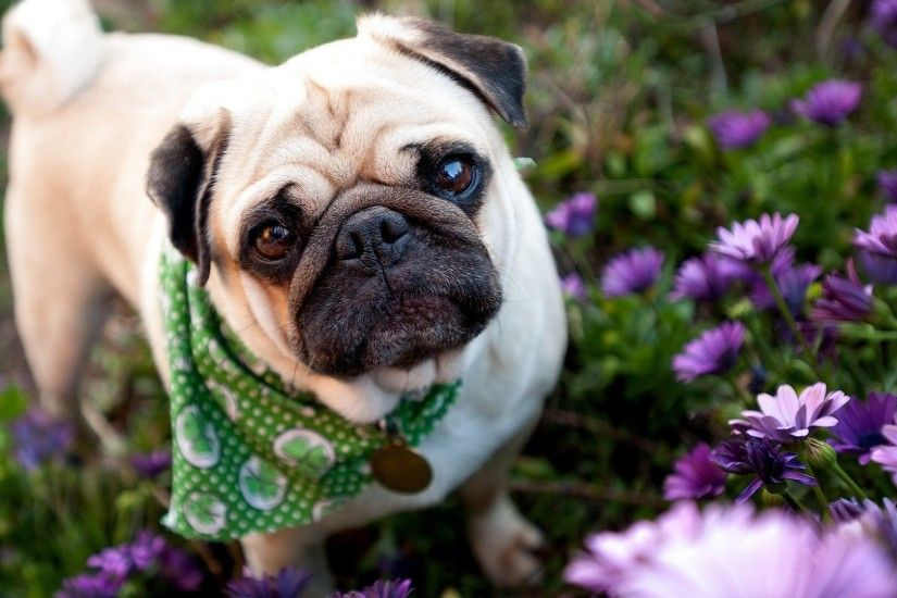 Flowers-HD-Pug-Wallpapers