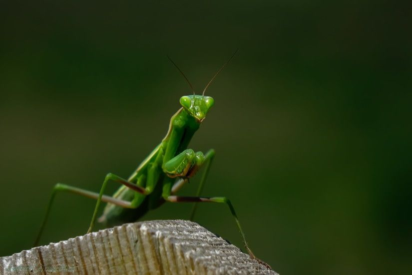 green praying mantis HD wallpaper