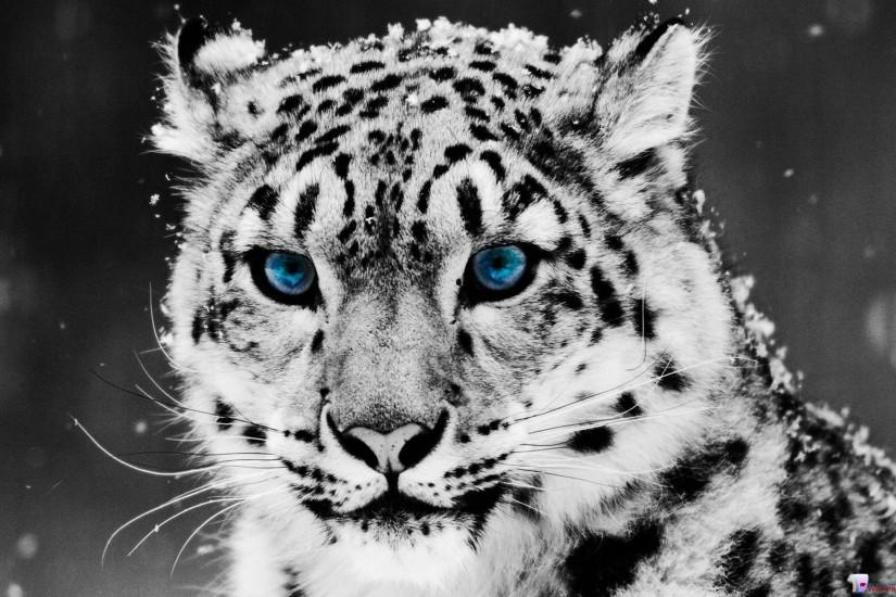 White Tiger HD Wallpapers - HD Wallpapers Inn