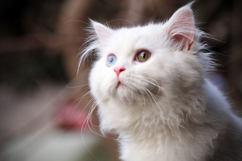 Related Wallpapers. white cat wide