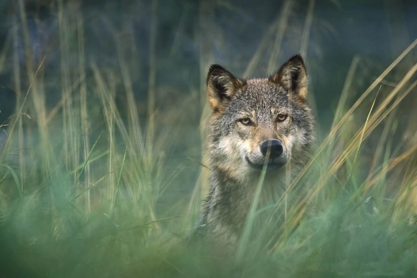 animals_other_gray-wolf_59066.jpg
