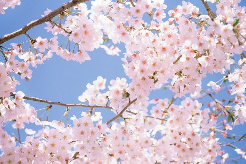 Cherry Blossom Desktop Wallpaper / Cherry Blossom Tree Wallpapers For Pc