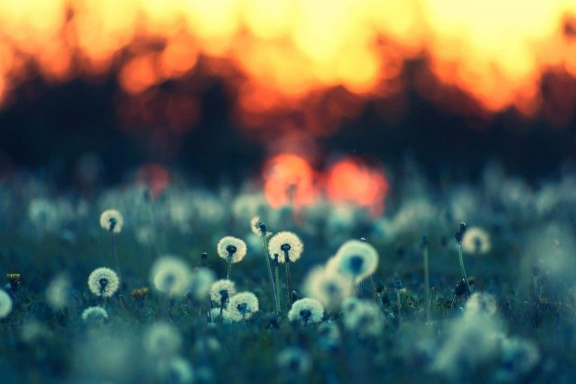 summer night nature field dandelions plants grass background wallpaper