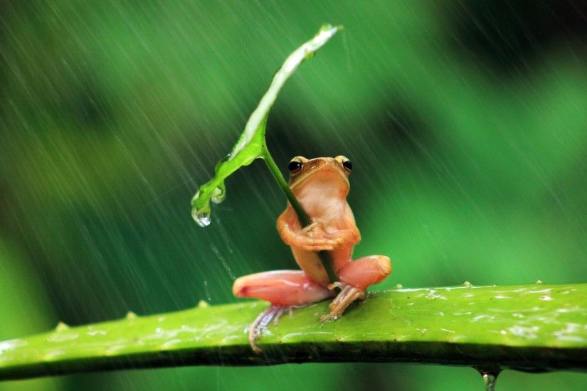 127649-frog-animals-nature-rain-leaves-shields-humor-amphibian.jpg  (2880×1920) | natrue | Pinterest | Hd wallpaper and Wallpaper