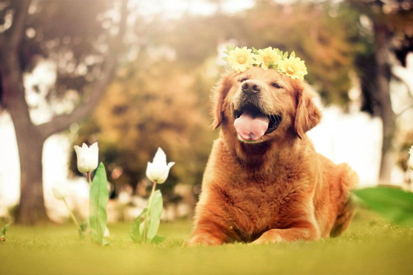 Wallpaper Desktop Golden Retriever