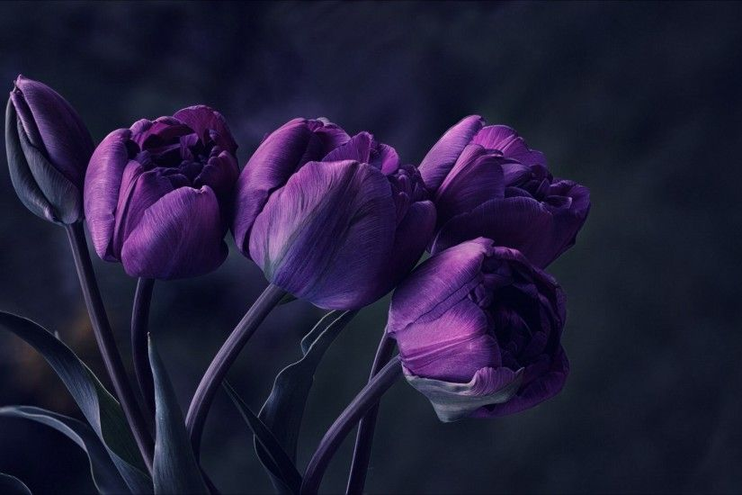 Tulip Purple Wallpaper Wide Wallpaper